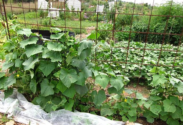 First Cucumber Harvest Our Garden Plot