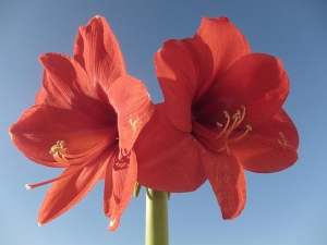 Our Amaryllis