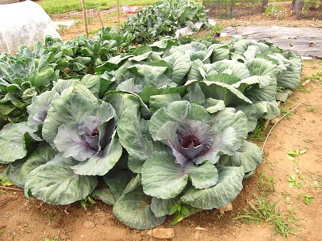 Cabbage Our Garden Plot