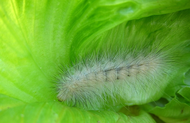 white fuzzy caterpillar